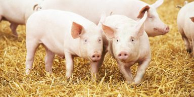jims farm meat pigs